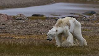 سرنوشت خرس های قطبی به دلیل آب شدن یخ های قطبی