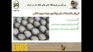 فروش تخم نطفه دار تازه ی بوقلمون با درصد هچ 85% در juje.ir