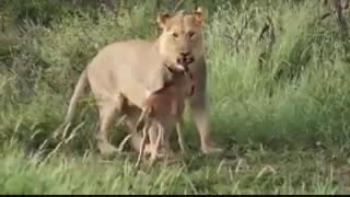 مهر مادری در حیات وحش هم حکمفرماست