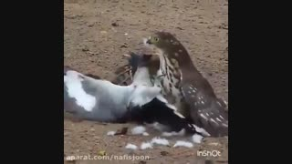 شاهین و زنده زنده خوردن پرنده