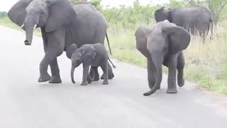 عبور فیلها از  جاده با بچه فیل