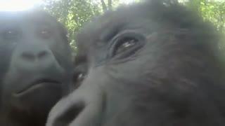 واکنش شامپانزه در مقابل آیینه
