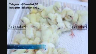 عکس های جالب از جوجه های تازه به دنیا آمده مرغ