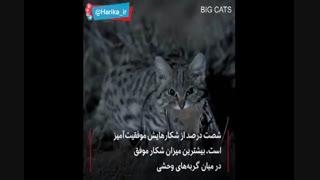 گربه وحشی مرگبار