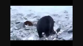 حیات وحش خرس