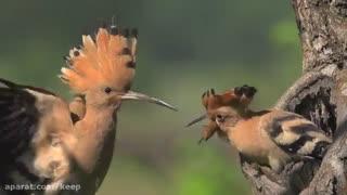 غذا دادن دیدنی پرنده به بچه هاش