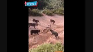 نبرد سگ و مار افعی