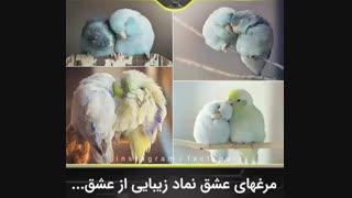 مرغ عشق نماد زیبایی از عشق ::///دانستنی ...