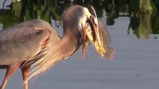 ماهیگیری لک لک
