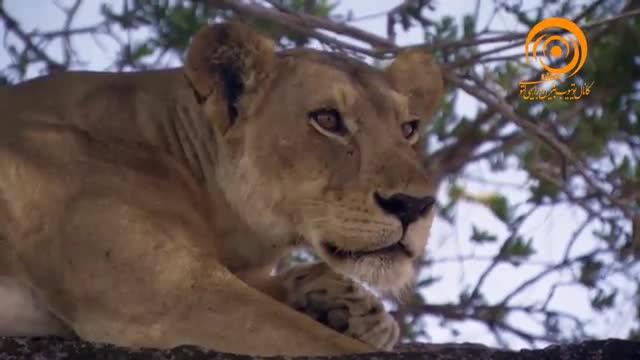 مستند آفریقا ـ شکار زرافه توسط شیرها
