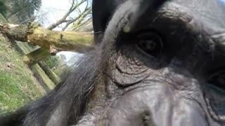 شکار پهپاد توسط شامپانزه