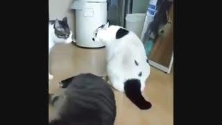 گربه تپل از دعوای دو گربه جلوگیری کرد