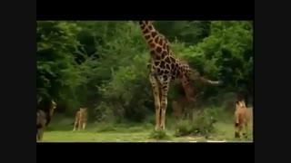 مستند حیات وحش افریقا شیر و زرافه