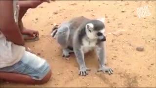 میمون لمور پرتوقع