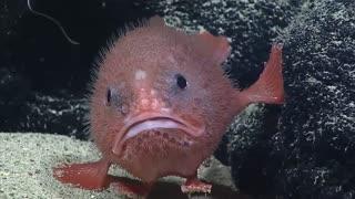 گونه جدید ماهی کشف شده به نام sea toad