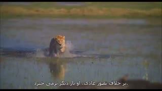 قدرت عشق یک ماده شیر در مستند The Last Lions