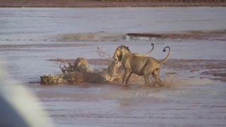 فیلم مستند حیات وحش افریقا و حمله شیرهای افریقایی به کروکودیل بزرگ و نتیجه