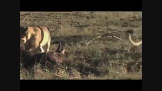 فیلم مستند شکارهای شیرهای افریقایی در حیات وحش افریقا 2018