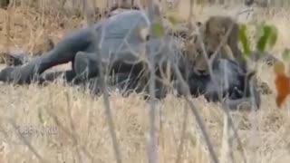 مبارزه شیر با فیل و بوفالو