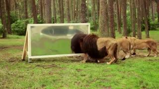 عکس العمل شیرها به آینه