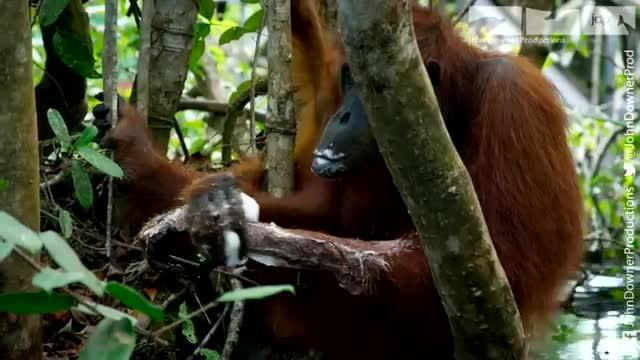 یاد گرفتن استفاده از صابون توسط اورانگوتان در طبیعت