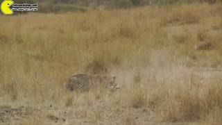 لئوپارد در یک لحظه غزال را غافلگیر و شکار می کند.