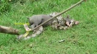 حمله آنا کندا به خوک وتلاش برای نجات آن
