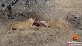 صحنه دلخراشی از نزاع کفتار و شیر بر سر جسد یک گراز