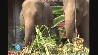 در تایلند مسابقه فیلها را از نزدیک ببینید