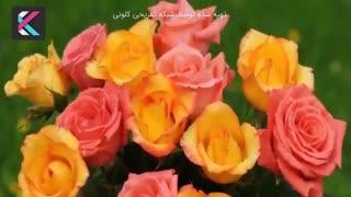 معنای واقعی هر رنگ گل رز چیست؟