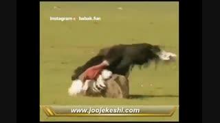 جفتگیری شترمرغ