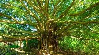 درخت عجیبی که به تنهایی یک جنگل است!
