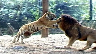 ویدئوی دیدنی از مبارزه شیرها و ببر