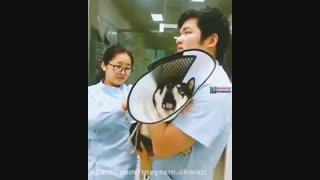 خنده دار ترین سگ دنیا. موقع امپول زدن جیغ میکشه مثل بچه انسان