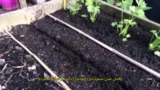 آموزش کاشت بذر شلغم 1
