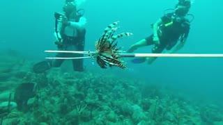 آموزش شکار خروس ماهی به کوسه ها برای کنترل جمعیت این ماهی