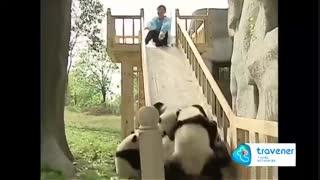یه روز عادی تو باغوحش Chengdu چین