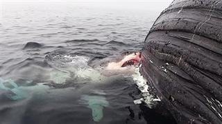 خورده شدن نهنگ توسط کوسه سفید از نمای نزدیک