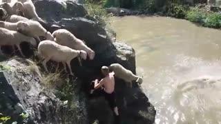 زیباترین فیلم مستند گوسفندان و نحوه عبور ازرودخانه
