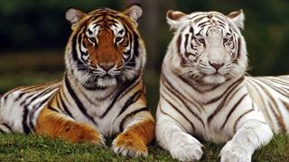 ببر سلطنتی بنگال و ببر سفید حیوانات خانگی این خانم هستند!!!