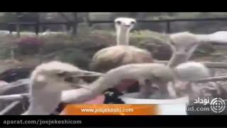 حمله شتر مرغ ها به غذایی توریست