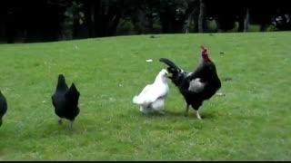 جفت گیری مرغ و خروس