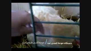 جوجه کشی طبیعی توسط مرغ مادر