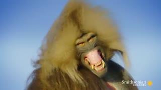 میمون های گیاه خوار با دندان های یک شکارچی