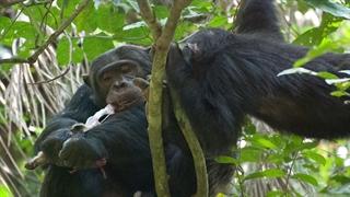 شکار و خورده شدن میمون ها توسط شامپانزه ها