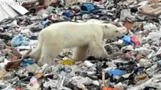 زبالهگردی خرس قطبی در روسیه!