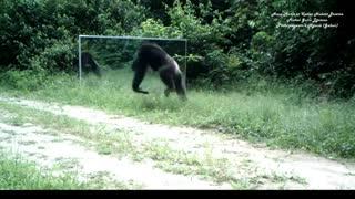 رقص پای شامپانزه مقابل آینه